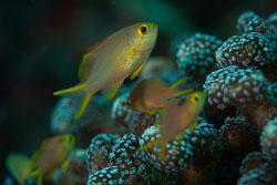 BD-161027-Pantar-3321-Pseudanthias-squamipinnis-(Peters.-1855)-[Sea-goldie].jpg